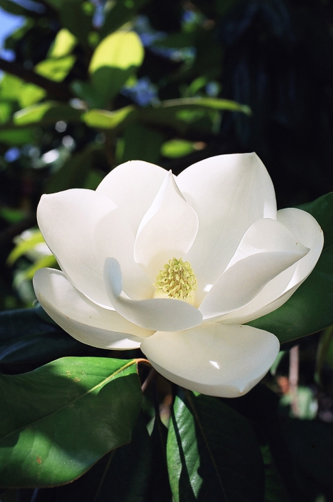 Louisiana Magnolia