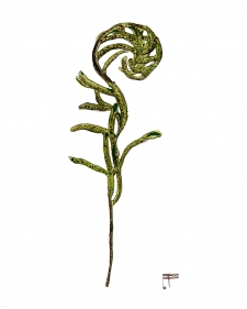 Resurrection Fern / Main Image