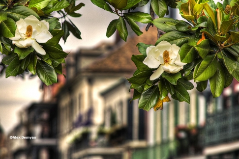 French Quarter Magnolias
