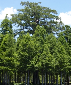 300-Year-Old Cypress