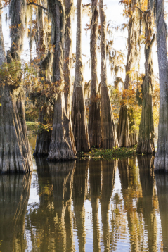 Grow Back Bald Cypress