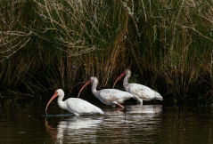 White Ibis Fishing