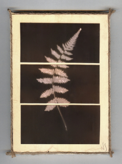 Pieces of Nature, Fern
