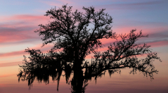 Oak Tree at Sunset / Lake Ponchartrain