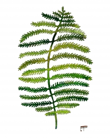 Wide Fern / Main Image