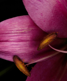 Detail of Merlot Lilies With Pollen