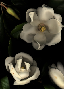 Southern Magnolia Blossoms / Main Image