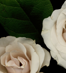 Detail of White Roses